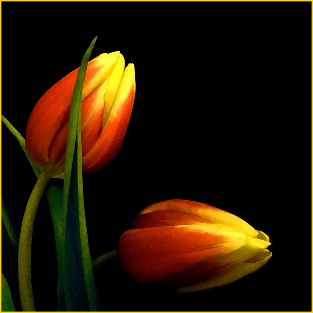 Twee-tulpen