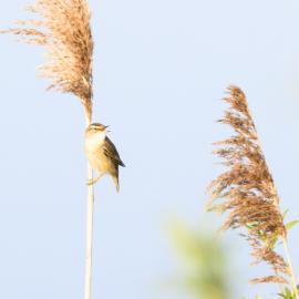 Deze vogel doet zijn naam eer aan
